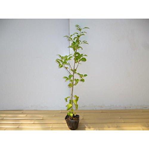 【ノーブランド品】 ヤマボウシ 樹高1.0m前後 12cmポット /