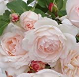 バラ苗 ステファニーグッテンベルク 国産新苗4号ポリ鉢 フロリバンダ(FL) 四季咲き中輪 ピンク系 アンティークタイプのバラ