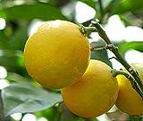 トゲなしレモンの木 瀬戸内レモン 2年生ロングスリット鉢 接木 苗