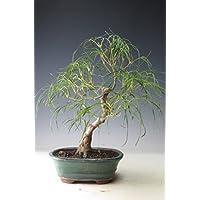盆栽 もみじ(柳川)の鉢植え【現品】