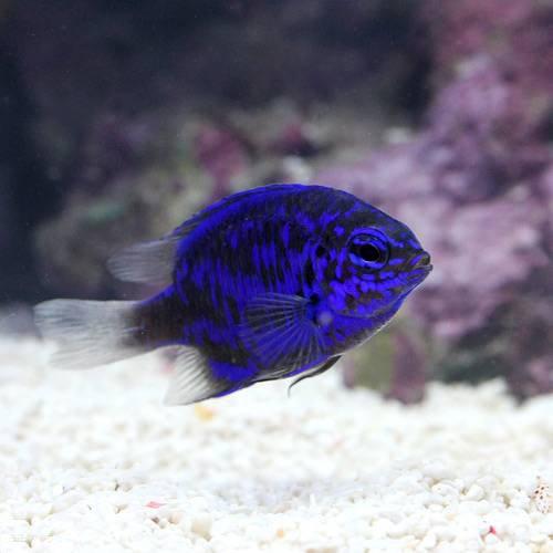 (海水魚)スプリンガーズダムセル(3匹) 本州・四国限定[生体]
