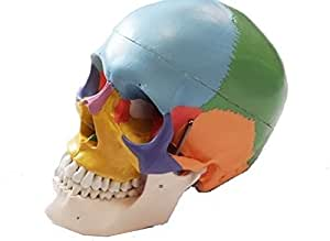 MedianField 【 頭蓋骨模型 実物大 配色 】 頭蓋骨 模型 顎関節 歯科 眼科 耳鼻科 (頭蓋骨, 配色)