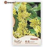 発芽SEEDS:オリジナルパック4種/パック、コートヤードキンモクセイの花の種、甘い香りのキンモクセイの種子盆栽種子種子