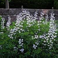 インディゴワイルド白い花の種(Baptisiaオースト)30個の+種子