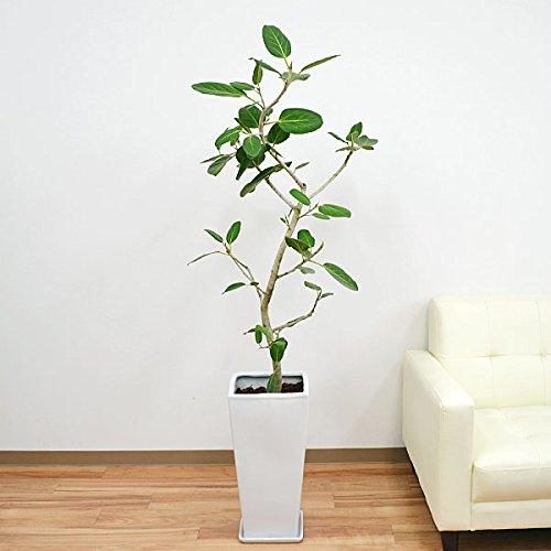 フィカス・ベンガレンシス(ベンガルゴム) ロングスクエア陶器鉢植え/L