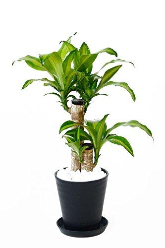 【セラアート鉢(ブラックラウンドポット)】幸福の木(ドラセナ・マッサンゲアナ)6号鉢