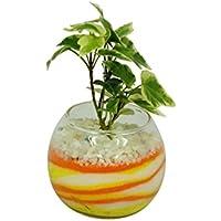 花市場直送便 アイビー(カラーサンド植え) バブルボール8cm 黄色/オレンジ