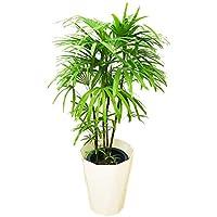 棕櫚竹 シュロチク 8号 スタイリッシュな白色鉢カバー付 寒さに強い 観葉植物 中型 大型 インテリア