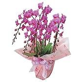 ミディ 胡蝶蘭 ウエディングプロムナード5本立 花鉢 フラワーギフト