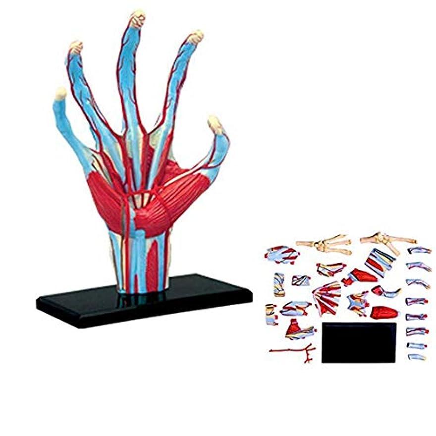上陸広範囲襟人間の手のパズルの教育モデルの解剖学、手のモデルの解剖学、筋肉の組み立て、医療モデル、10.6 * 6.9 * 1.5Cm