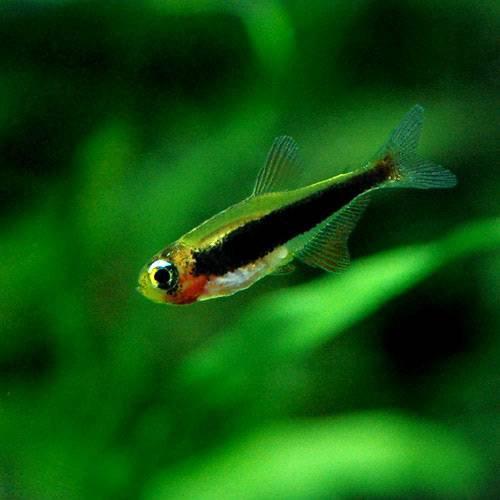 (熱帯魚)トゥッカーノ・テトラ(1匹) 本州・四国限定[生体]