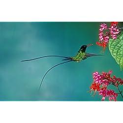 フキナガシハチドリ(ハチドリ科)