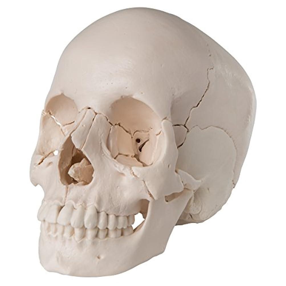 櫛上がるうつ頭蓋骨22分解キット,ナチュラルカラー仕様