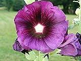 30紫タチアオイ種子