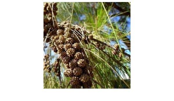 River Oak Tree Seeds 200  Casuarina cunninghamiana Seeds