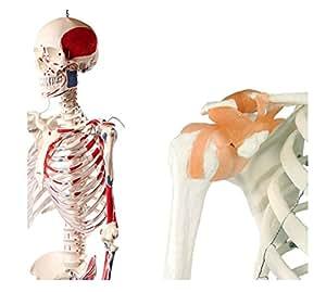 【frugolio casa】【高品質】 人体骨格模型 脊柱可動型の全身骨格模型 筋肉起始 170cm 等身大 高精度 - 1.7295