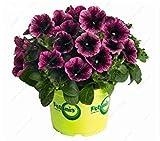 6:ビッグセール!500個希少な盆栽ペチュニアの種ハイブリッドフラワーシードバルコニーポットペチュニアフラワーシーズホームガーデン苗フラワー6