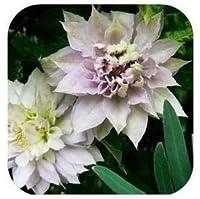 20枚つるクレマチス鉢植えのクレマチス庭の花:15
