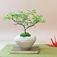 盆栽妙 白花長寿梅 若木 樹高18cm×幅20cm