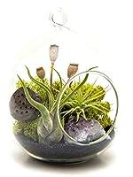 """オーガニック種子:スタンド付き:空気テラリウムはFarmerlyによってパープルアメジスト/ 6"""" Ovとガラス/ミッドナイト森とスタンド"""