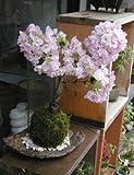 桜・・・そう聞くだけで心和む景色を貴方のもとへ【桜(旭山桜)の苔玉・くらま器・敷石セット】 (白石)