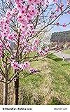 PLAT会社-SEEDSサクラ属dulcisアーモンドの木5つの新鮮なシーズ