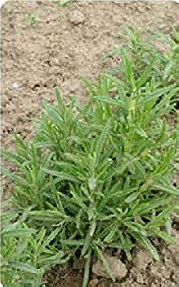 窒素利得細分化するハーブ - ローズマリー - 600種 - 大