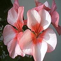 100%のTアデニウムObesum盆栽エキゾチックなデザートローズ花バルコニー砂漠ローズ盆栽多色の花びら多肉植物の木2個:1pcs10