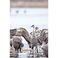 """Chuck Haneyポスター印刷entitled Sandhill Cranes on theプラット川、ネブラスカ州 32"""" x 48"""" 2365937_13_32x48_none"""
