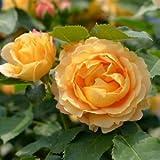 バラ苗 ラドルチェヴィータ 国産大苗デルバールオリジナル角鉢6号 四季咲き中輪 黄色系 フレンチローズ(デルバール)