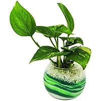花市場直送便 ポトス(カラーサンド植え) バブルボール8cm グリーン