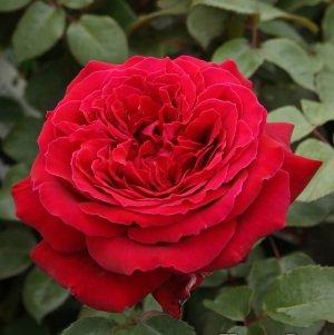 バラ苗 ウィンショッテン 国産新苗4号ポリ鉢ハイブリッドティー(HT) 四季咲き大輪 赤系 アンティークタイプ