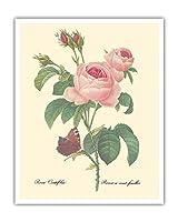 """ローズ・センティフォリア(百花びらのバラ) - から:""""最も美しい花の選択"""" - ビンテージな植物のイラスト によって作成された ピエール=ジョゼフ・ルドゥーテ c.1833 - アートポスター - 41cm x 51cm"""
