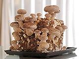 しいたけ栽培キット 1個(肉厚・ジューシーな椎茸が大量に収穫出来る大型3000cc菌床)
