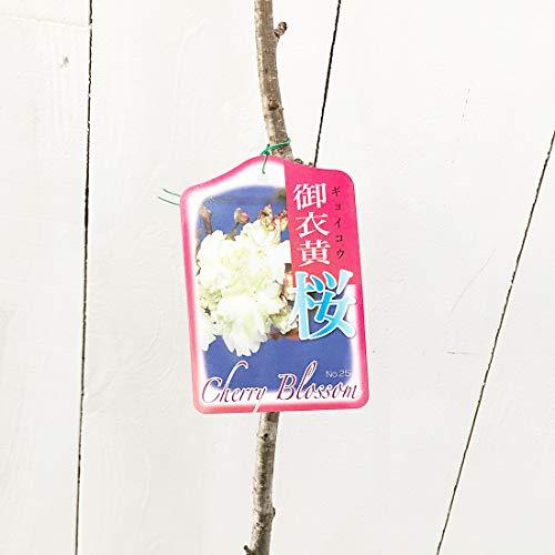 桜 苗木 御衣黄 12cmポット苗 ぎょいこう さくら 苗 サクラ
