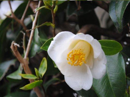 【6か月枯れ保証】【生垣樹木】ツバキ/ヤブツバキ白花 0.3m