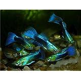【熱帯魚・グッピー】 ネオンタキシード・グッピー(オス) ■サイズ:アダルト (10匹)