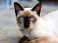 芸術はポスターを印刷します - 猫の青い目のシャムの嘘 - キャンバスの 写真 ポスター 印刷 (70cmx50cm)
