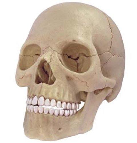 立体パズル 4D VISION 人体解剖 No.23 1/2 頭蓋骨解剖モデ...