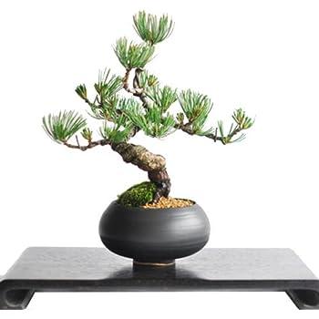 盆栽妙 枝ぶりの良い五葉松の盆栽 幅20cm×樹高20cm