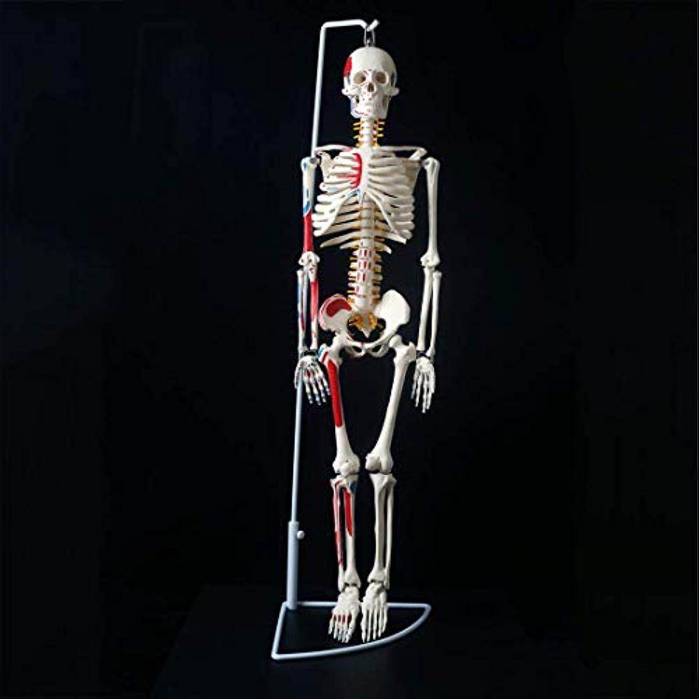 ゲスト集中的な実用的教育モデル人体スケルトンモデル、子供学習のための人体スケルトンモデル、85センチの脊髄神経1筋肉の始点と終点