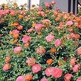 バラ苗 春風(はるかぜ) 修景用 大苗6号鉢 一季咲き ピンク系