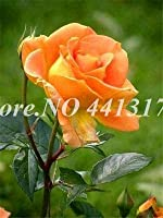 種子500pcs / bag盆栽ポットスノーローズフラワープラント屋外ブルーミング芳香族ローザフロレンプランターホームガーデン装飾容易な成長3