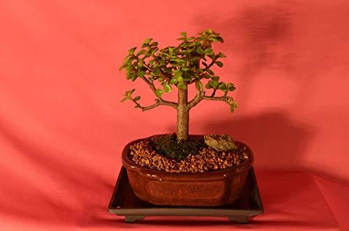 有機種子だけでなく、植物:SE FOR INDOOR BONSAI、MINI JADE、5歳、ACTU BONSAIませPHOTO!フェリーで