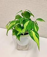 ミドリエ(パフカル) 土を使わない 観葉植物 底面給水POT-A(オキシカルジュームブラジル3号)