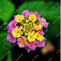 13:ランタナカマラ種子花の種子盆栽植物用ホームガーデン植物スペイン国旗フラワーシード30粒子/ロット