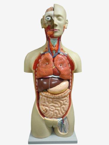 人体模型 等身大全身内臓トルソー アルティメットEX