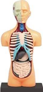 【科学工作】人のからだ 胴体解剖模型
