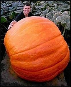 超巨大かぼちゃ 2粒