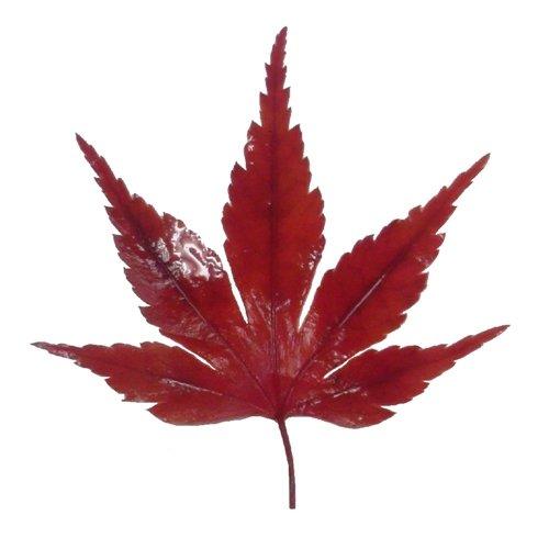 紅葉 (赤, 10枚)